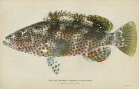 0354155 © Granger - Historical Picture ArchiveFISH: ROCK HIND.   Rock hind (Epinephelus adscensionis). Lithograph by Julius Bien & Co., 1903.