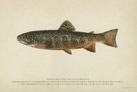 0354156 © Granger - Historical Picture ArchiveFISH: BROOK TROUT.   Eastern brook trout (Salvelinus fontinalis). Lithograph by Julius Bien & Co., 1903.