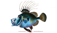 0528616 © Granger - Historical Picture ArchiveFISH: JOHN DORY, 1802.   John Dory (Zeus faber). Illustration by Edward Donovan from 'The Natural History of British Fishes,' 1802.