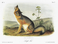 0029560 © Granger - Historical Picture ArchiveAUDUBON: FOX.   Swift fox (Vulpes velox). Lithograph, c1851, after a painting by John James Audubon for his 'Viviparous Quadrupeds of North America.'