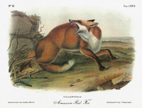 0352928 © Granger - Historical Picture ArchiveAUDUBON: FOX.   American red fox (Vulpes vulpes fulvus). Lithograph, c1851, after a painting by John James Audubon for his 'Viviparous Quadrupeds of North America.'