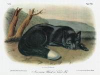 0353079 © Granger - Historical Picture ArchiveAUDUBON: FOX.   Silver, or black, fox, a type of American red fox (Vulpes vulpes fulvus). Lithograph, c1854, after a painting by John Woodhouse Audubon for John James Audubon's 'Viviparous Quadrupeds of North America.'