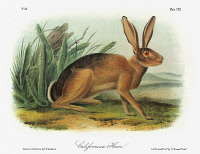 0353076 © Granger - Historical Picture ArchiveAUDUBON: RABBIT.   Black-tailed jackrabbit, also known as the American desert hare, or California hare (Lepus californicus). Lithograph, c1854, after a painting by John Woodhouse Audubon for John James Audubon's 'Viviparous Quadrupeds of North America.'