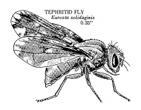 0055105 © Granger - Historical Picture ArchiveFRUIT FLY.   Tephritid fruit fly (Eurosta solidaginis).