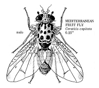 0055106 © Granger - Historical Picture ArchiveFRUIT FLY.   Male Mediterranean fruit fly (Ceratitis capitata).