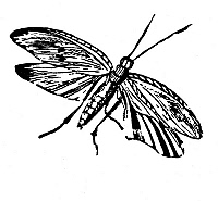 0082445 © Granger - Historical Picture ArchiveFLYING INSECT.   Wood engraving, early 19th century, by Thomas Bewick.