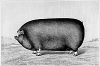 0114804 © Granger - Historical Picture ArchiveAMERICAN PIG, 1890.   A prize pig bread and owned by L.G. Jones, Towanda, Illinois. Wood engraving, American, 1890.