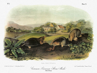 0039478 © Granger - Historical Picture ArchiveAUDUBON: MOLE.   Eastern, or common, mole (Scalopus aquaticus). Lithograph, c1849, after a painting by John James Audubon for his 'Viviparous Quadrupeds of North America.'