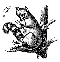 0268674 © Granger - Historical Picture ArchiveZOOLOGY: RACCOON.   A raccoon in a tree. Wood engraving, 19th century.