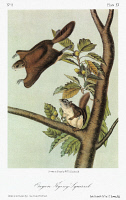 0352817 © Granger - Historical Picture ArchiveAUDUBON: FLYING SQUIRREL.   Oregon, or Bachman, flying squirrel (Glaucomys sabrinus oregonensis), a subspecies of the northern flying squirrel. Lithograph, c1849, after a painting by John James Audubon for his 'Viviparous Quadrupeds of North America.'