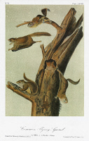 0352842 © Granger - Historical Picture ArchiveAUDUBON: FLYING SQUIRREL.   Southern flying squirrel (Glaucomys volans). Lithograph, c1849, after a painting by John James Audubon for his 'Viviparous Quadrupeds of North America.'