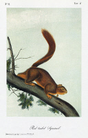 0352908 © Granger - Historical Picture ArchiveAUDUBON: SQUIRREL.   Western fox squirrel (Sciurus niger rufiventer). Lithograph, c1851, after a painting by John James Audubon for his 'Viviparous Quadrupeds of North America.'