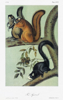 0352917 © Granger - Historical Picture ArchiveAUDUBON: SQUIRREL.   Southern fox squirrel (Sciurus niger niger) in different color phases. Lithograph, c1851, after a painting by John James Audubon for his 'Viviparous Quadrupeds of North America.'