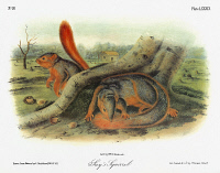 0353059 © Granger - Historical Picture ArchiveAUDUBON: SQUIRREL.   Western fox squirrel (Sciurus niger rufiventer), formerly known as Say's squirrel. Lithograph, c1851, after a painting by John James Audubon for his 'Viviparous Quadrupeds of North America.'