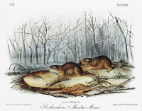 0353194 © Granger - Historical Picture ArchiveAUDUBON: VOLES.   North American water vole (Microtus richardsoni), left, and Drummond vole (Microtus pennsylvanicus drummondii), a subspecies of the meadow vole. Lithograph, c1854, after a painting by John Woodhouse Audubon for John James Audubon's 'Viviparous Quadrupeds of North America.'