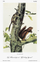 0353207 © Granger - Historical Picture ArchiveAUDUBON: SQUIRRELS.   Fremont's squirrel (Tamiasciurus hudsonicus fremonti), a subspecies of the American red squirrel, left; and Louisiana gray squirrel (Sciurus carolinensis fuliginosus), subspecies of the eastern gray squirrel. Lithograph, c1854, after a painting by John Woodhouse Audubon for John James Audubon's 'Viviparous Quadrupeds of North America.'