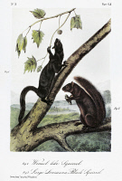 0353341 © Granger - Historical Picture ArchiveAUDUBON: SQUIRRELS.   Weasel squirrel (left), and large Louisiana black squirrel, melanistic types of, respectively, the Mexican gray squirrel (Sciurus aureogaster aureogaster) and Delta fox squirrel (Sciurus niger subauratus). Lithograph, c1854, after a painting by John Woodhouse Audubon for John James Audubon's 'Viviparous Quadrupeds of North America.'
