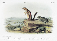 0353343 © Granger - Historical Picture ArchiveAUDUBON: SQUIRREL AND VOLE.   Harris' antelope squirrel (Ammosphermophilus harrisii), left; and California vole (Microtus californicus). Lithograph, c1854, after a painting by John Woodhouse Audubon for John James Audubon's 'Viviparous Quadrupeds of North America.'