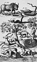 0128826 © Granger - Historical Picture ArchiveNORTH AMERICA: FAUNA.   Engraved frontispiece from the 1712 German edition of John Lawson's 'A New Voyage to Carolina,' showing a buffalo, a terrapin killing a rattlesnake, a blacksnake killing a rattlesnake, a coiled rattlesnake lying in wait for a squirrel, an opossum, a bobcat pulling down a deer, a bear, and a raccoon 'fishing' for crabs with its tail.