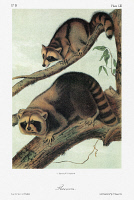 0352913 © Granger - Historical Picture ArchiveAUDUBON: RACCOON.   Raccoon (Procyon lotor). Lithograph, c1851, after a painting by John Woodhouse Audubon for John James Audubon's 'Viviparous Quadrupeds of North America.'