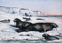 0083329 © Granger - Historical Picture ArchiveWALRUSES ON ICE FIELD.   Walruses on an ice field in the Arctic. Wood engraving, late 19th century.