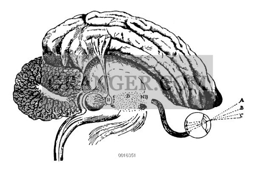 Image of DESCARTES: PINEAL GLAND. - The Pineal Gland (H), Thought By ...