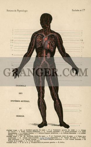 Image Of Circulatory System Diagram Of The Human Circulatory