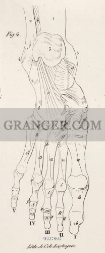 Image Of British Library Planches Anatomiques Du Corps Humain Executei Es Da Aprei S Les Dimensions Naturelles Anatomical Drawing Skeleton Bones Foot Full Credit British Library Granger Nyc All Rights Reserved