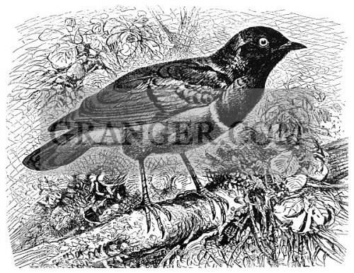 GLOSSY STARLING. 