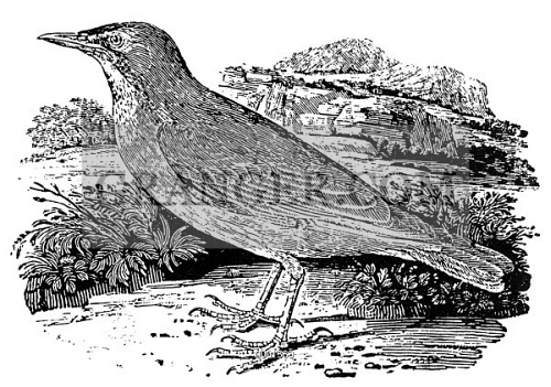 BROWN STARLING. 