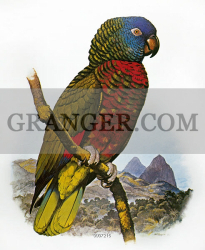 ST LUCIA AMAZON PARROT 