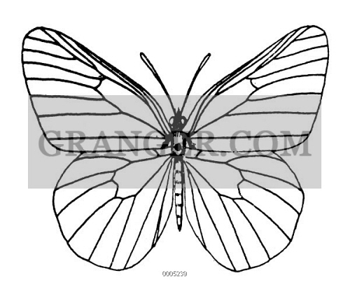 BUTTERFLY. 