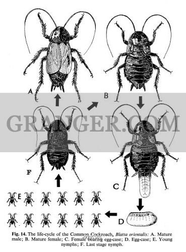 COCKROACHES. 